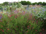 That's the Salvia Microphylla with the red flowers and the Larkspur are the blue and violet flowers in back.
